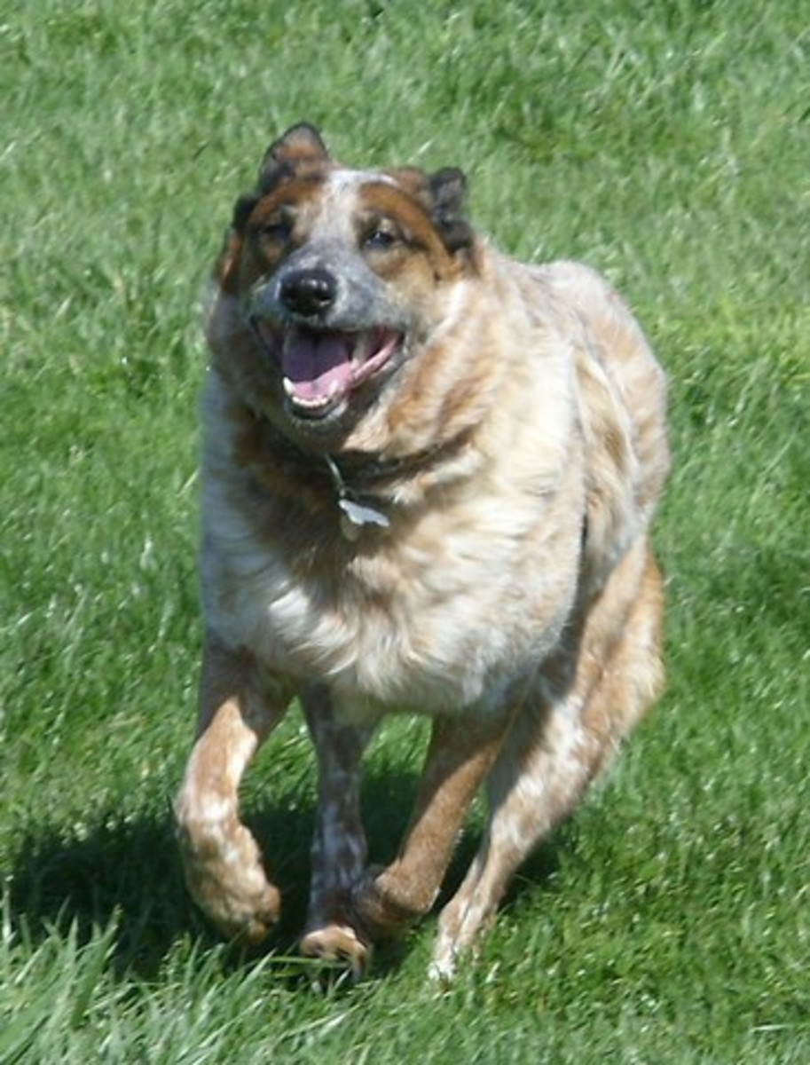 Australian Cattle Dogs are healthy and usually have a healthy lifestyle.