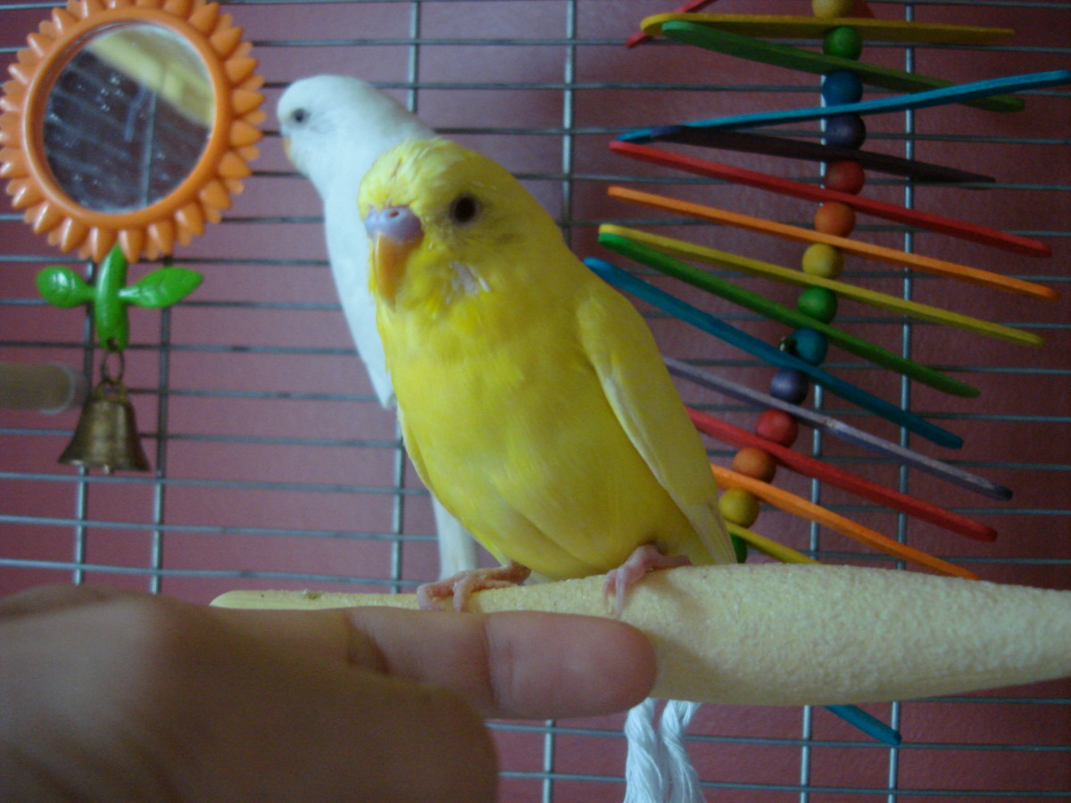 Whether the bird is inside or outside the cage remember to keep your hand near the base of the parakeets feet.