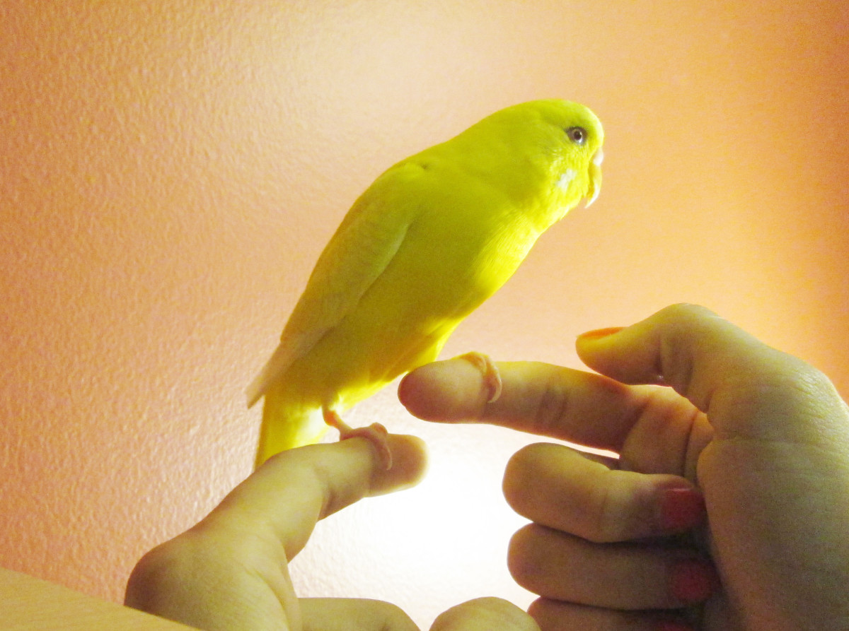Once the bird is on your finger, try to make it step on your other hand. Push against the base of the feet until it gets the hang of it.