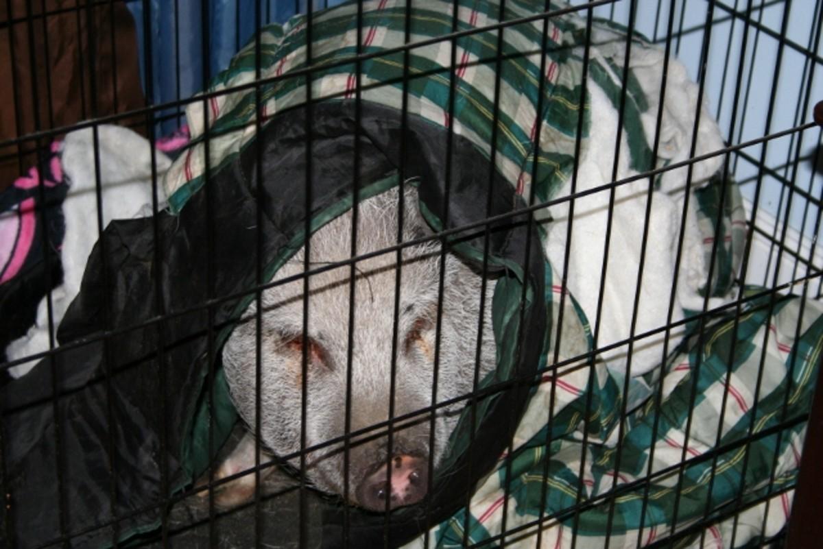 Hog in a sleeping bag!