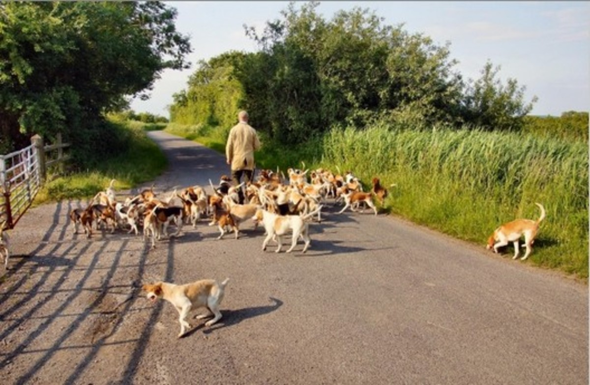 Hounds have a strong pack instinct because they were bred to work in packs. While sight hounds are built for speed, just as Ferrari, scent hounds are built for endurance just as off-road vehicles.