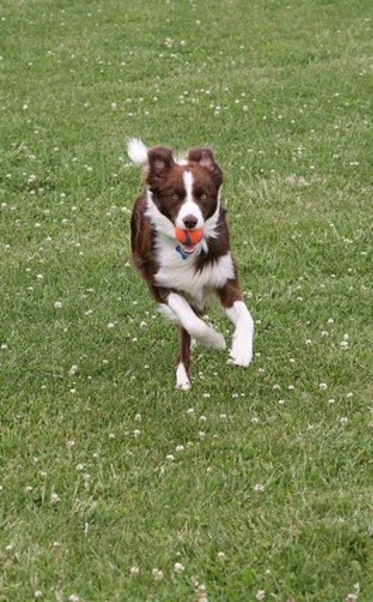 Bobbie looked similar to a Border Collie.