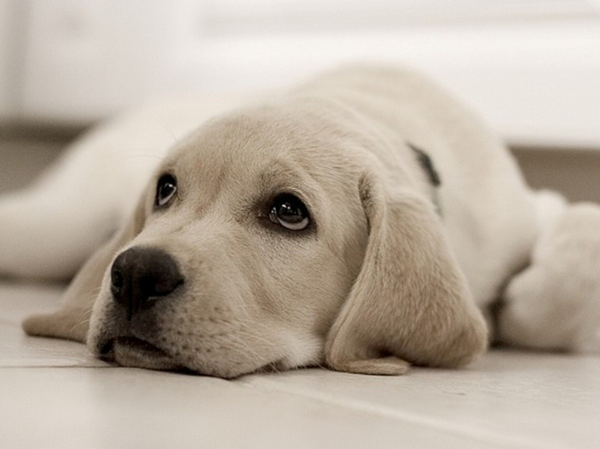 One reason that Labs are so popular is their faithfulness.
