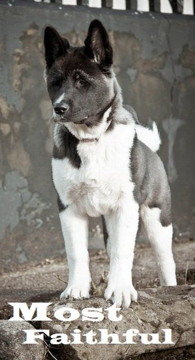 The Akita is one of the most faithful dog breeds.