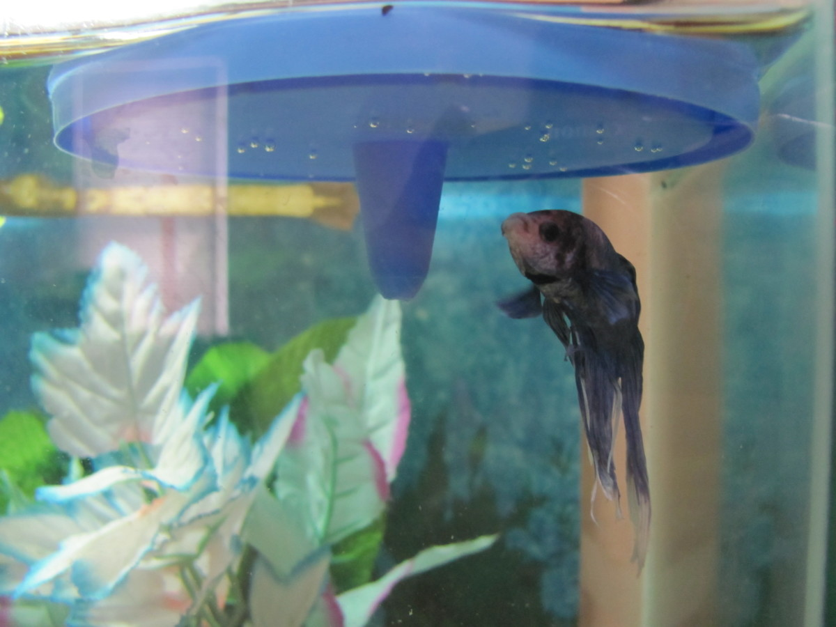 Betta lid used as an artificial lily pad; adds security and is a great place for Bettas to build bubble nests.