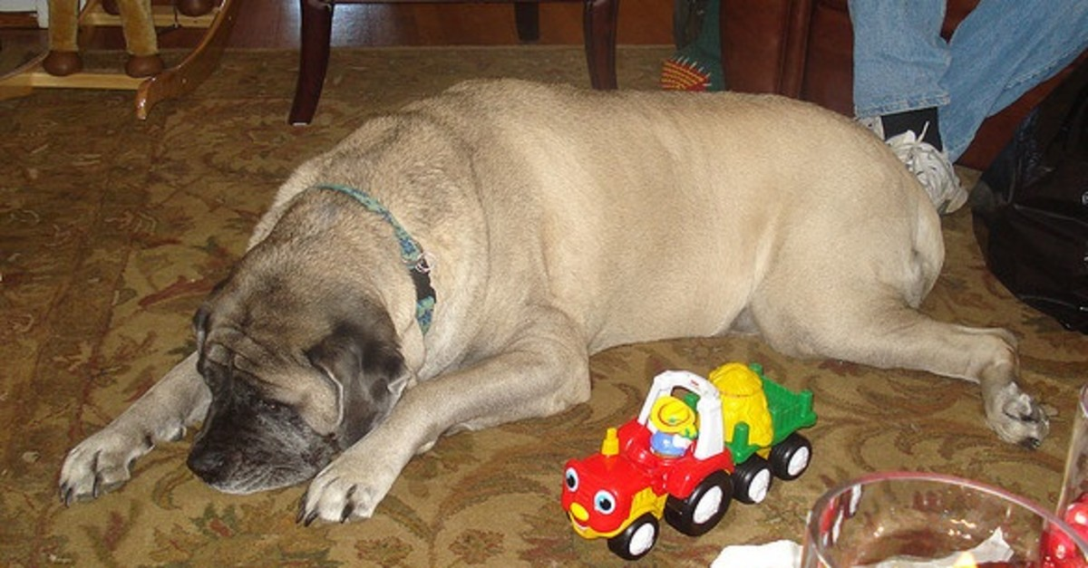 An older, and very calm, English Mastiff.