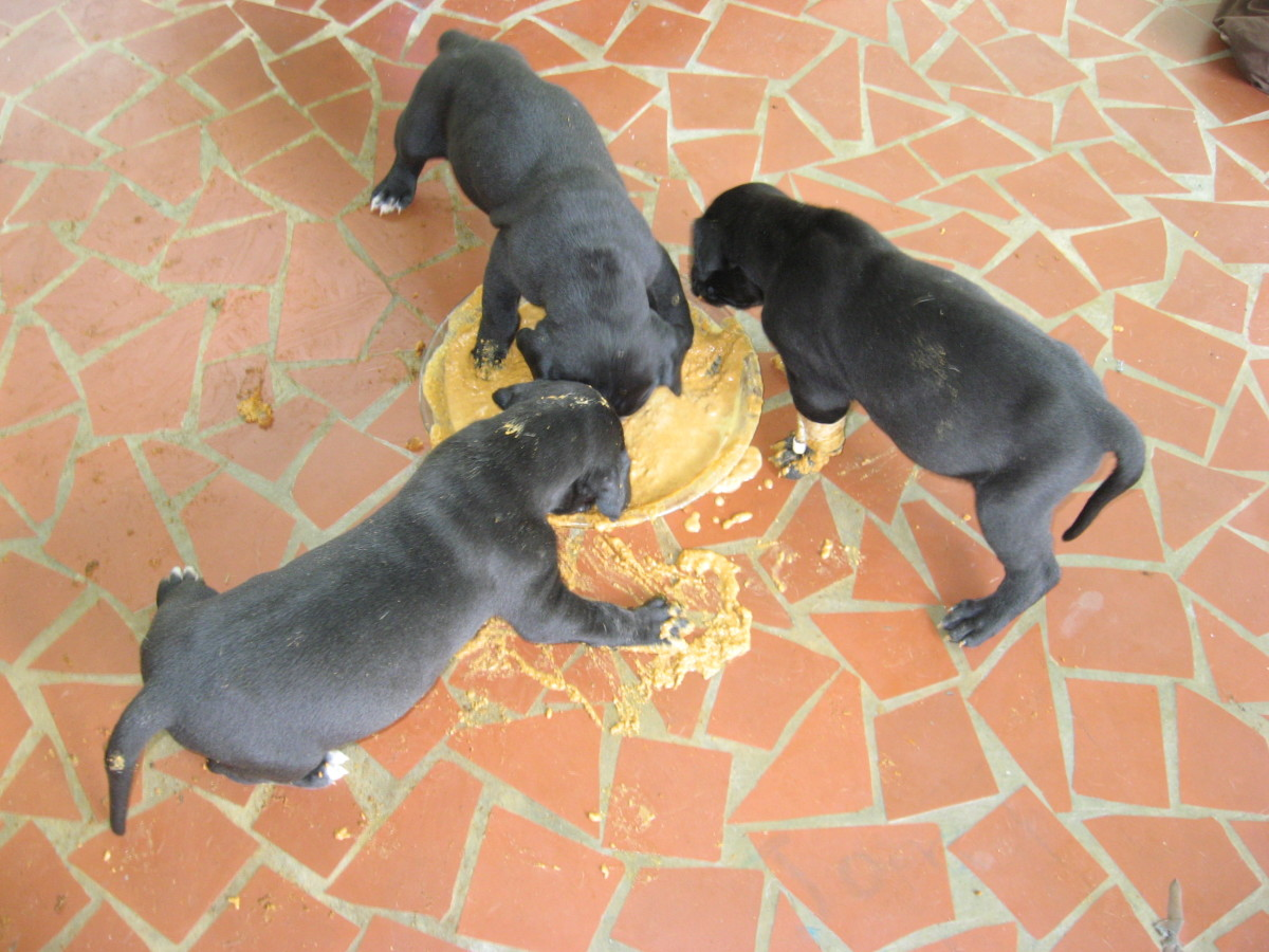 Great Dane puppies are super messy eaters!