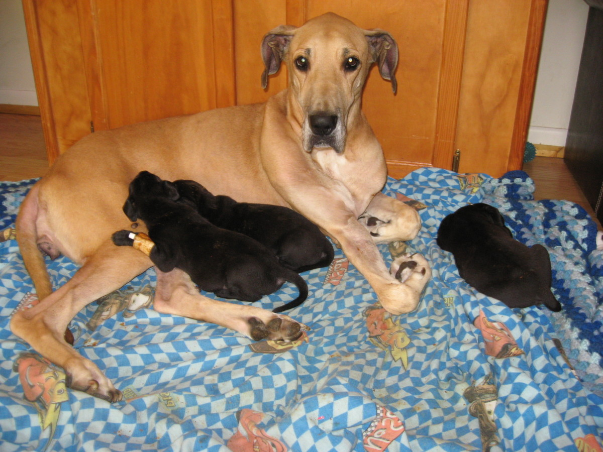 Even with megaesophagus, Kayla put on weight and cared for her Great Dane puppies.