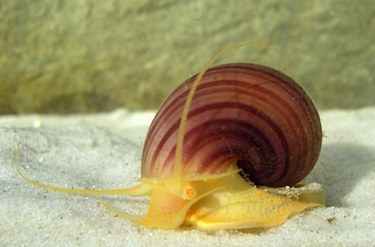 Apples snails may make good tankmates for betta fish in certain situations.