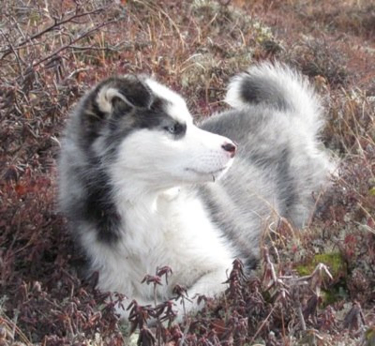 The Labrador Husky is from the northern part of Canada.