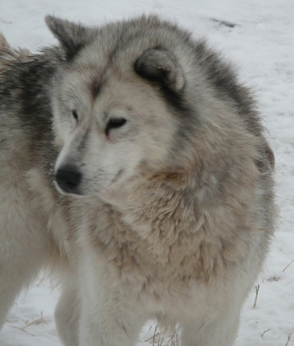 The Canadian Eskimo Dog is one of the oldest purebreds in North America.