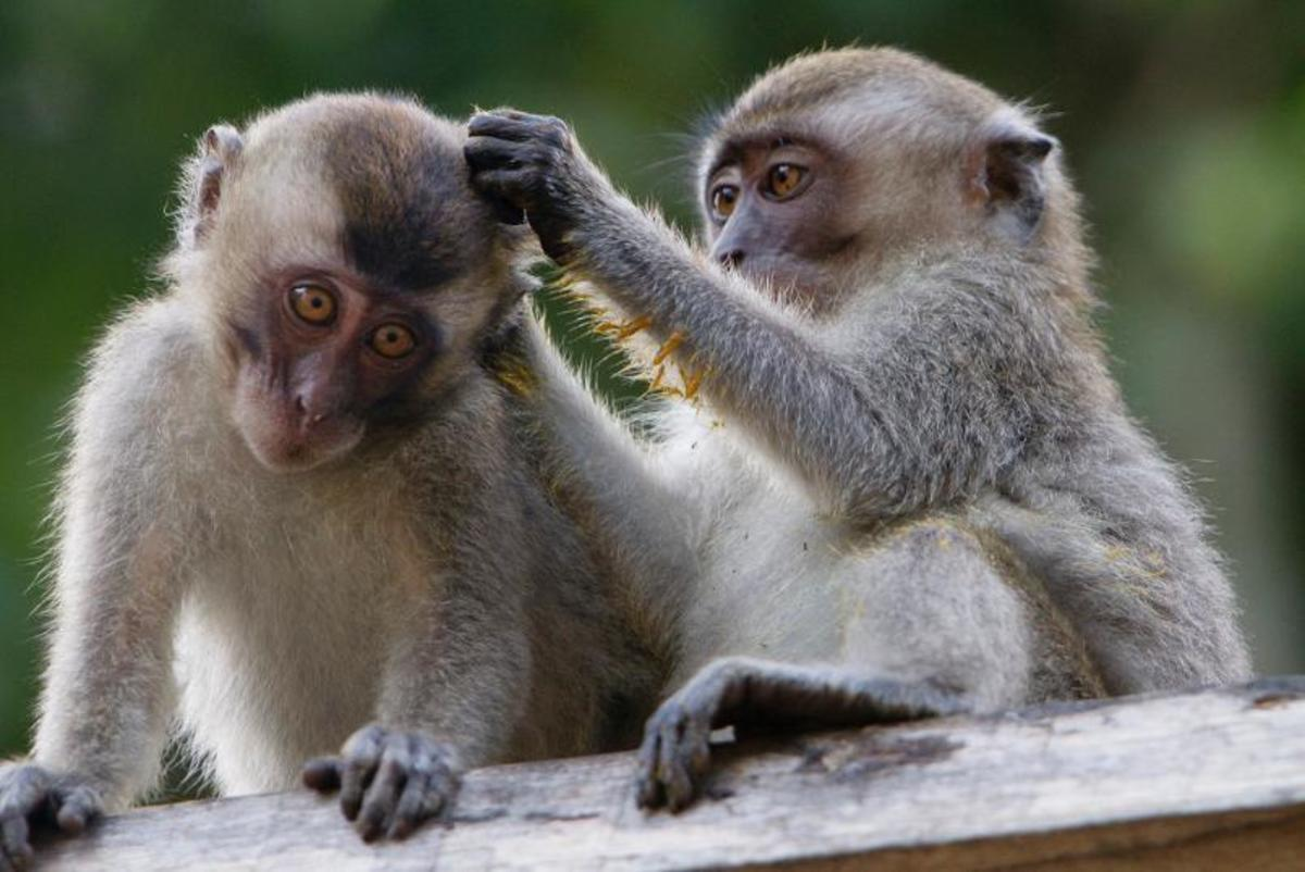 A  monkey species known for transmitting hepatitis B.