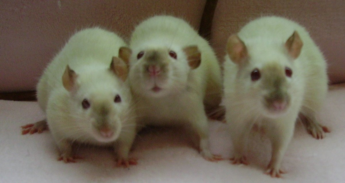 These 3 siamese rats, the middle being a dumbo eared siamese, are having a great time with their photo shoot and glamour shots.