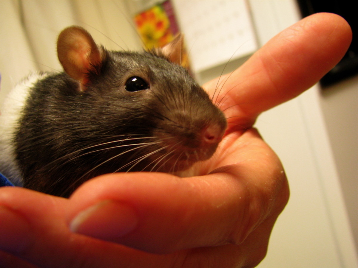 Rats as pets are amazing! Look how calm and content this rat is in its owner's hand.