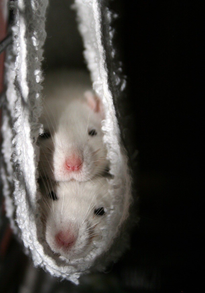 Fancy rats cuddling - photo#6