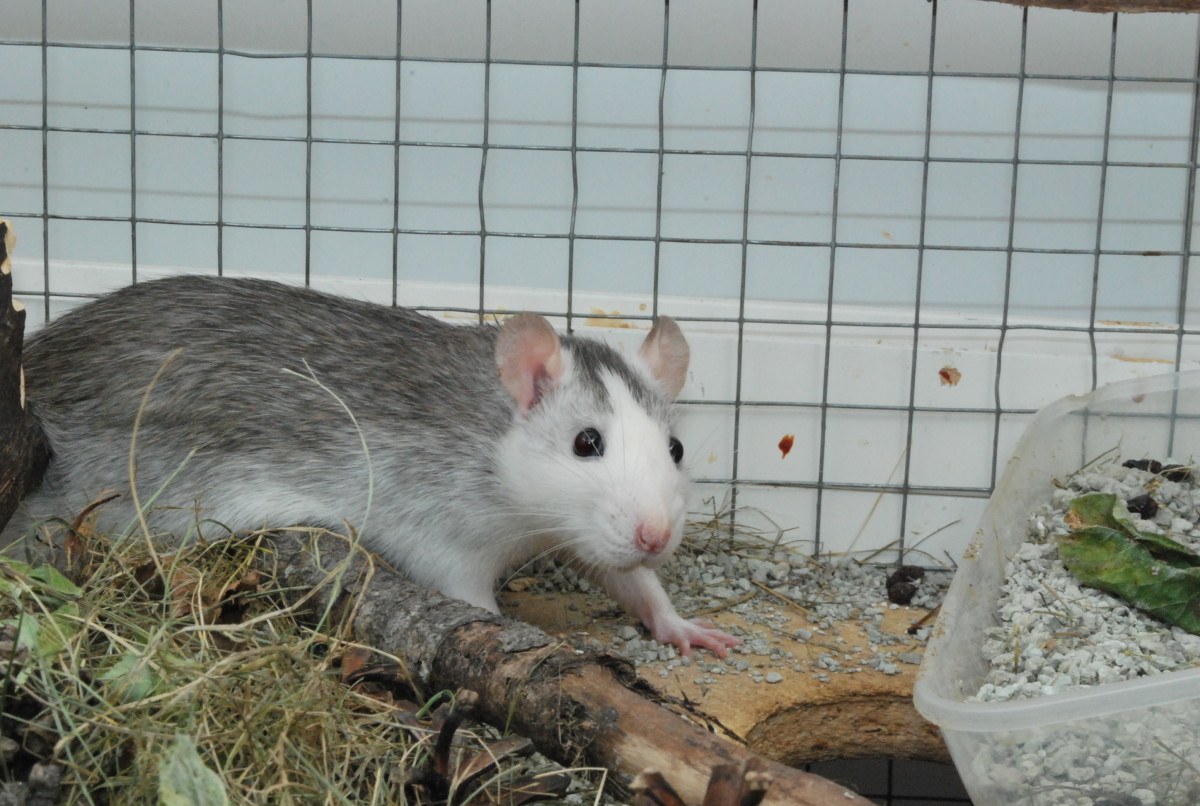 Check out this husky roan rat! Absolutely beautiful markings!