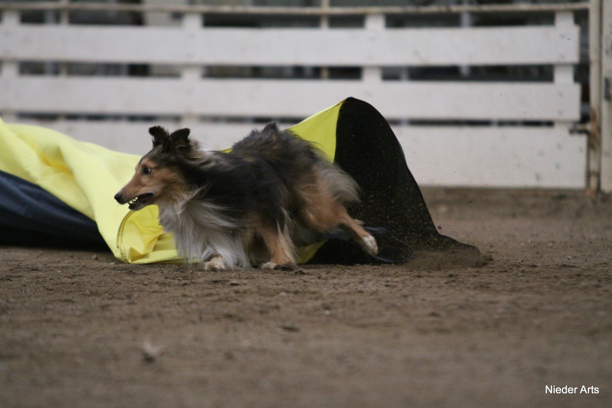 Dew claws are in full use as this Sheltie makes a hard turn after exiting the chute.