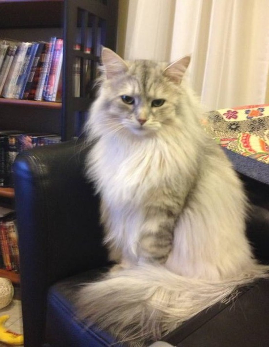 Life With Siberian Cats: My Experience With Adoption