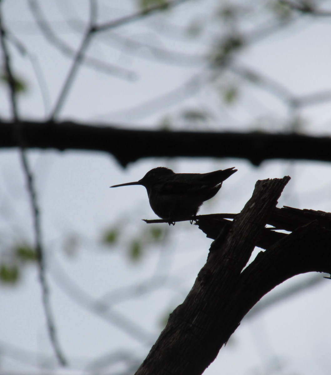 Hummingbird perched on a tiny branch in the early morning light.