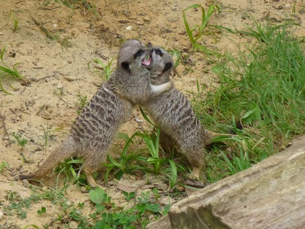 "It's important to remember that although the word ""cat"" is in their name, meerkats more closely resemble mongooses, both in terms of their biology and their behavior."