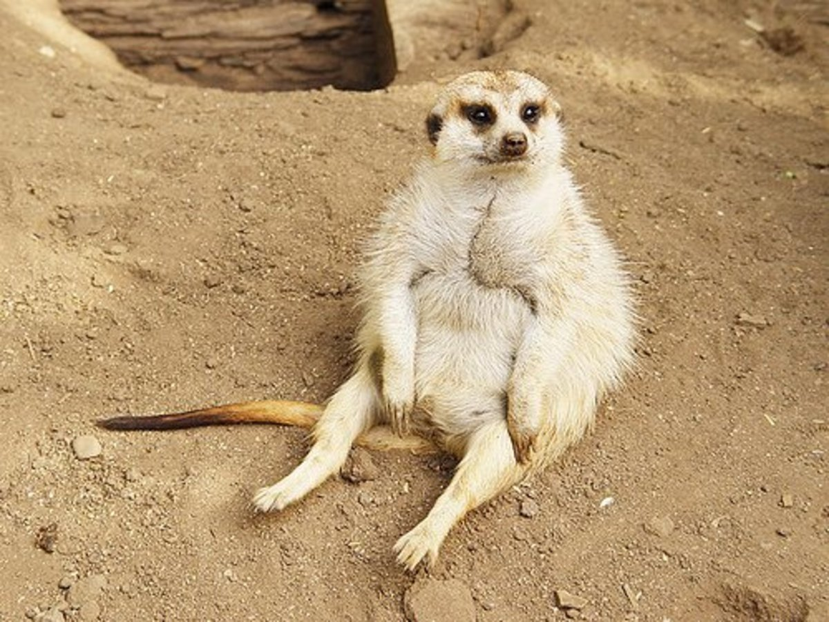 Apparently meerkats can be overfed. This is why enrichment and rationing are important.