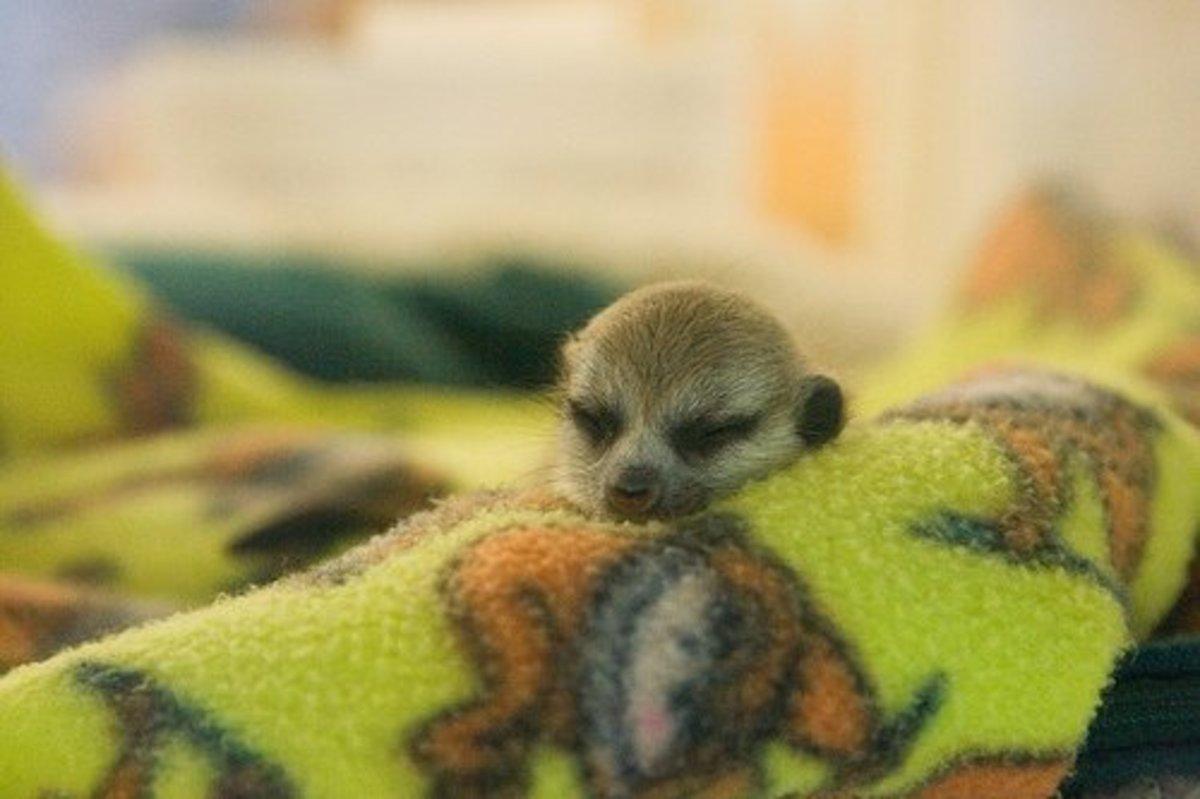 A baby meerkat.