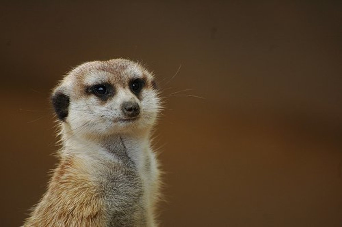 Though they are not allowed as pets in the U.S., you can legally own a meerkat in certain parts of the United Kingdom and Japan.