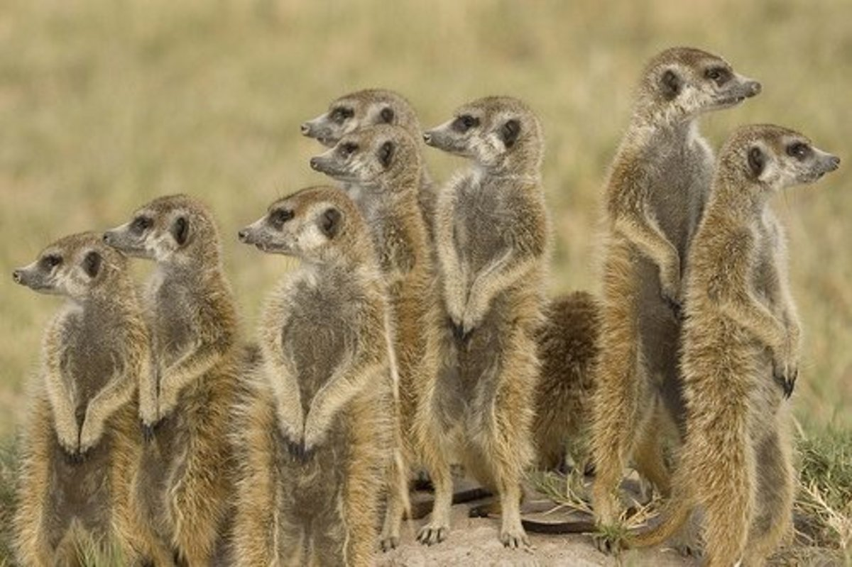 The ability to stand on their hind legs when on the lookout for predators likely plays a large part of why meerkats are so popular among humans looking for cute pets.