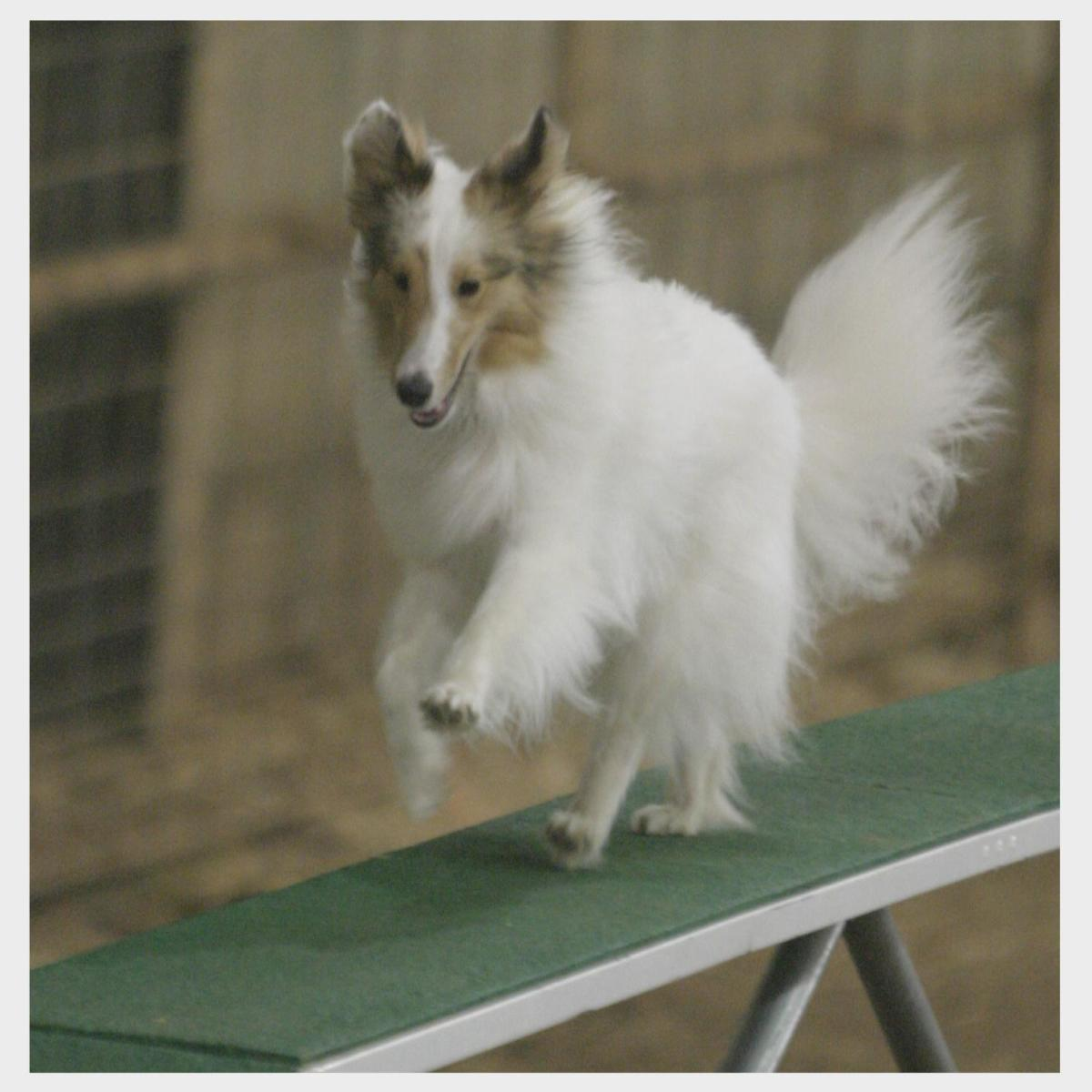 Here, the author's Sheltie is running over the dogwalk at his first agility trial.  Notice the high tail carriage.  This shows he is lacking some confidence on the dogwalk.