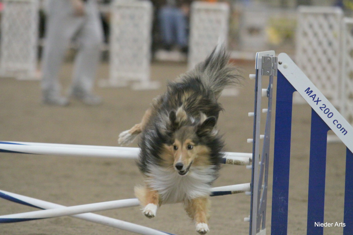 The author's Sheltie has received a late command. In order to comply, he has abandoned proper jumping technique, and his tail has come up and lifted to the left to help him respond to the late information.