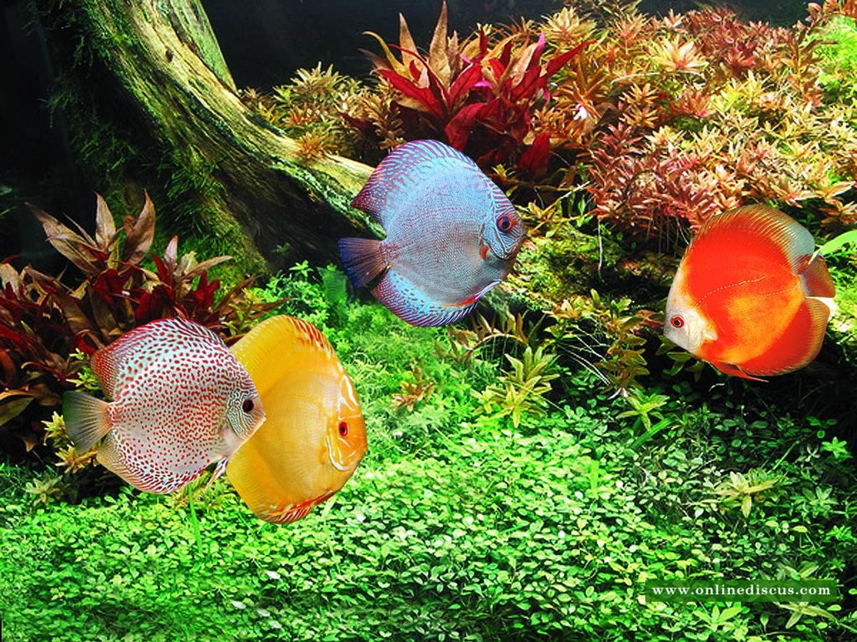 Setting up a freshwater aquarium a guide for beginners for Keeping discus fish
