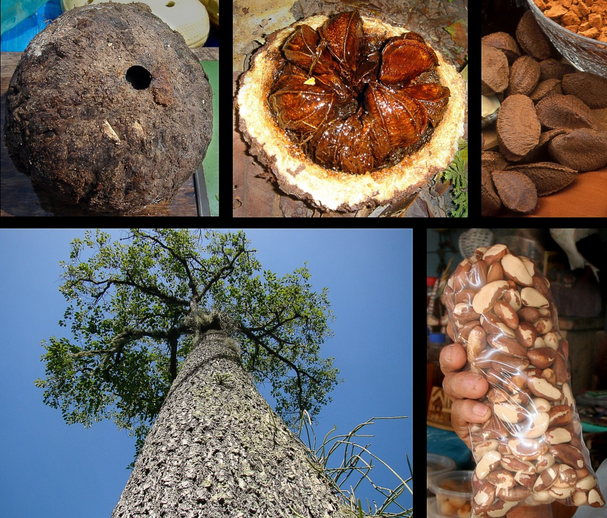 Top left: the fruit of the Brazil nut tree; middle left: the fruit has been opened up to show the seeds (nuts) inside