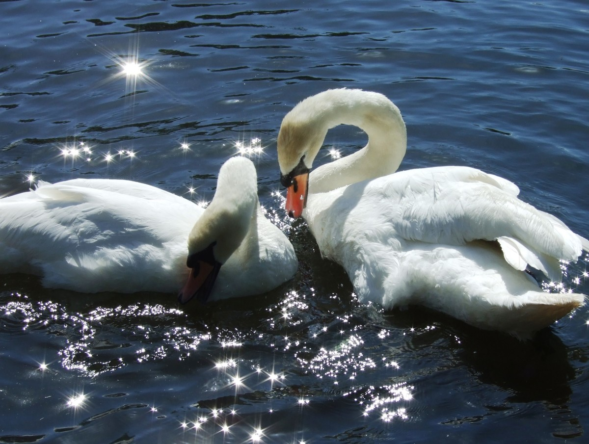 Graceful and beautiful, swans are also notorious for also being territorial and aggressive.