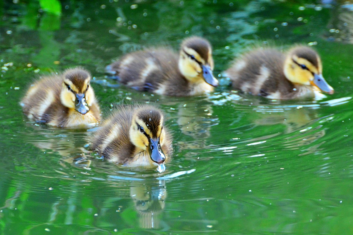 These ducklings are adorable projects that require major resource investments from their parents.  Ducks and geese lay between 8 and 18 eggs.  Swans often lay 3 to 11, depending on the particular breed.