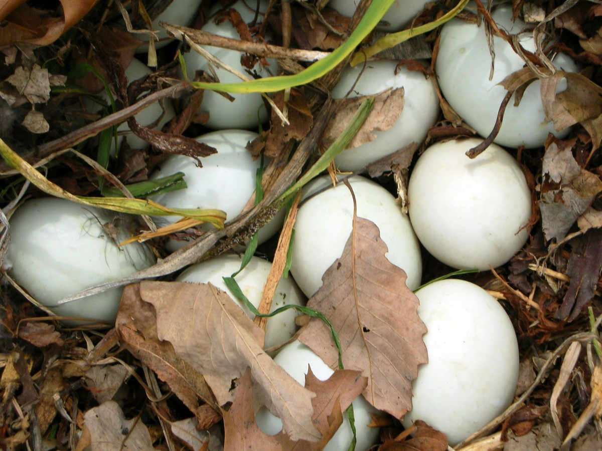 Ducks and geese lay one egg each day until their entire nest of 8-18 eggs is ready to incubate.  The eggs hatch within a day or two of one another.