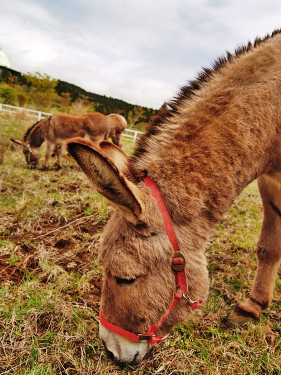 Dental disease is second only to hoof problems in donkeys.  They require regular dental check-ups just like we do.
