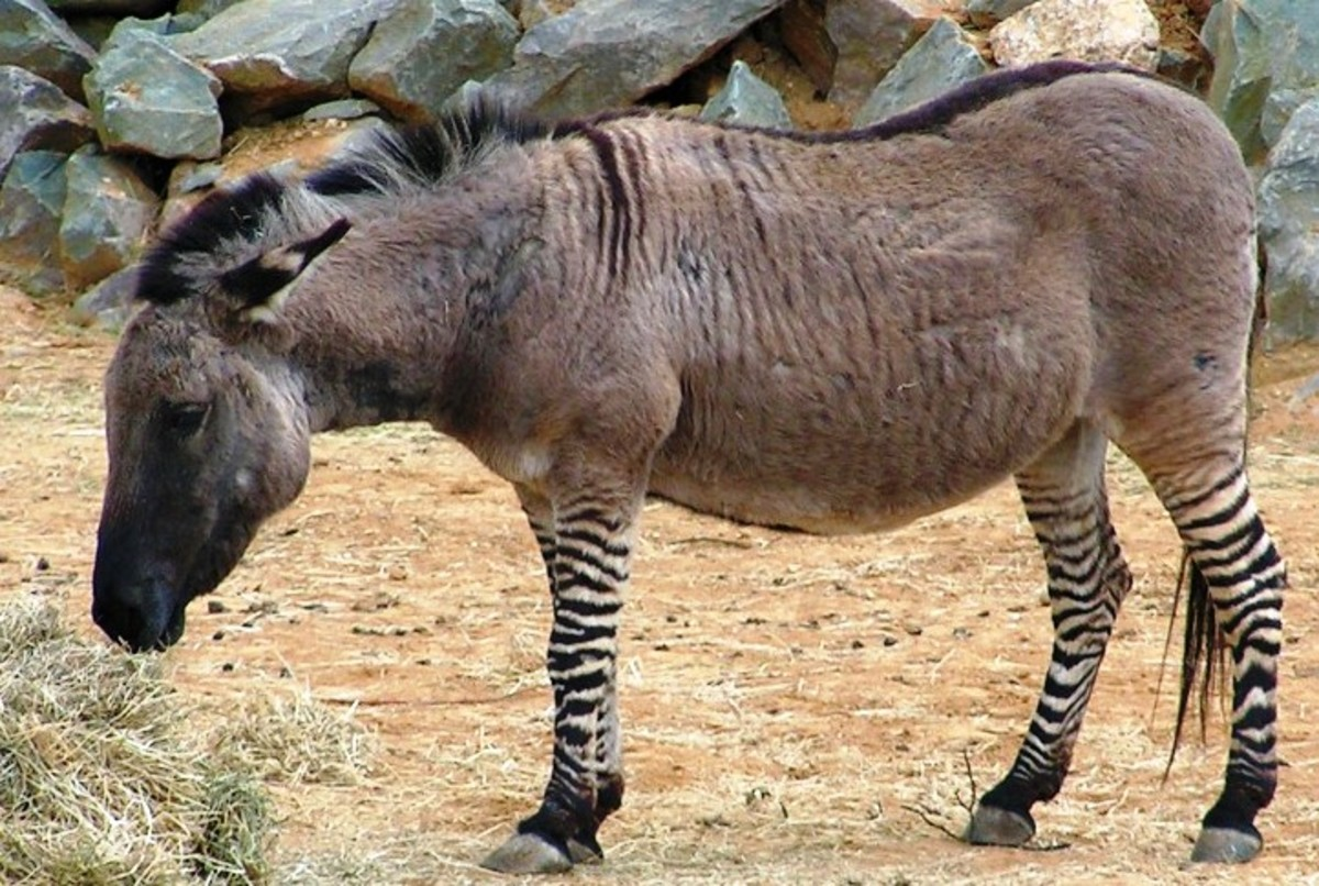 This zonkey's daddy is a zebra and his mama is a donkey.  Odd couple, even odder baby?