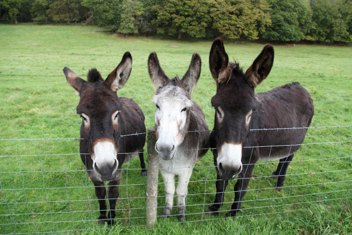 These are some fine looking asses.  Donkeys, that is.