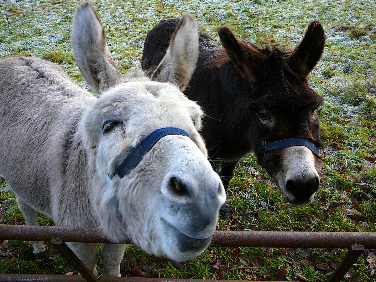 The Donkey Sanctuary, based in the United Kingdom, protects donkeys and mules and promotes their welfare worldwide
