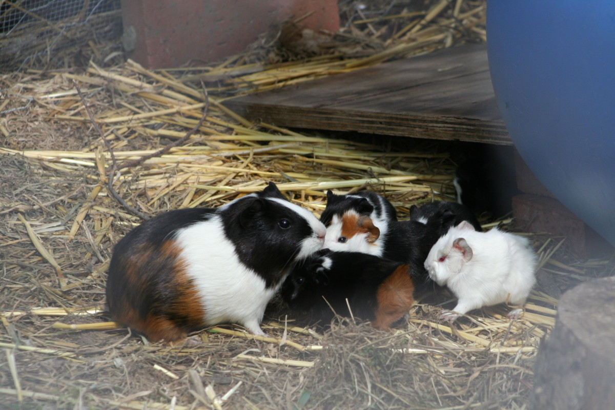 Venturing out with their mother for the first time, the baby guinea pigs discover a wide open space.