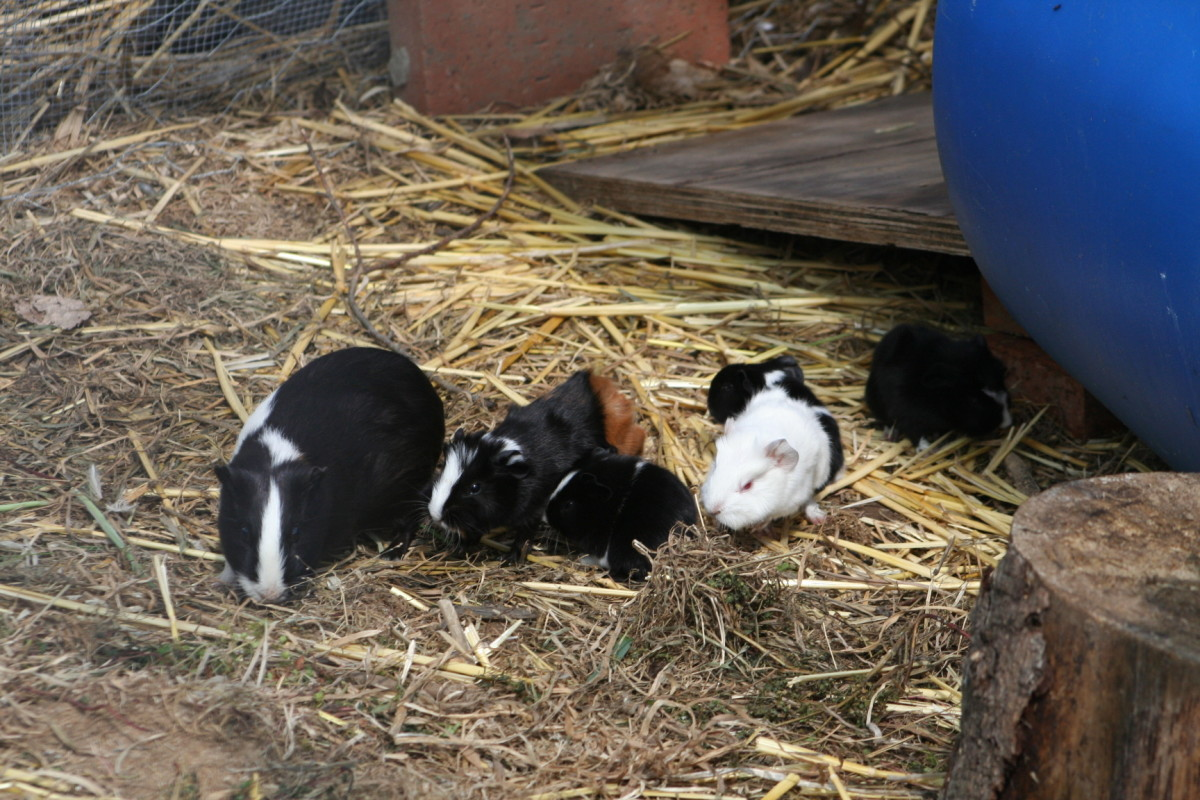 Extremely sociable, the sleek and silky black and white guinea pig takes over babysitting duties.