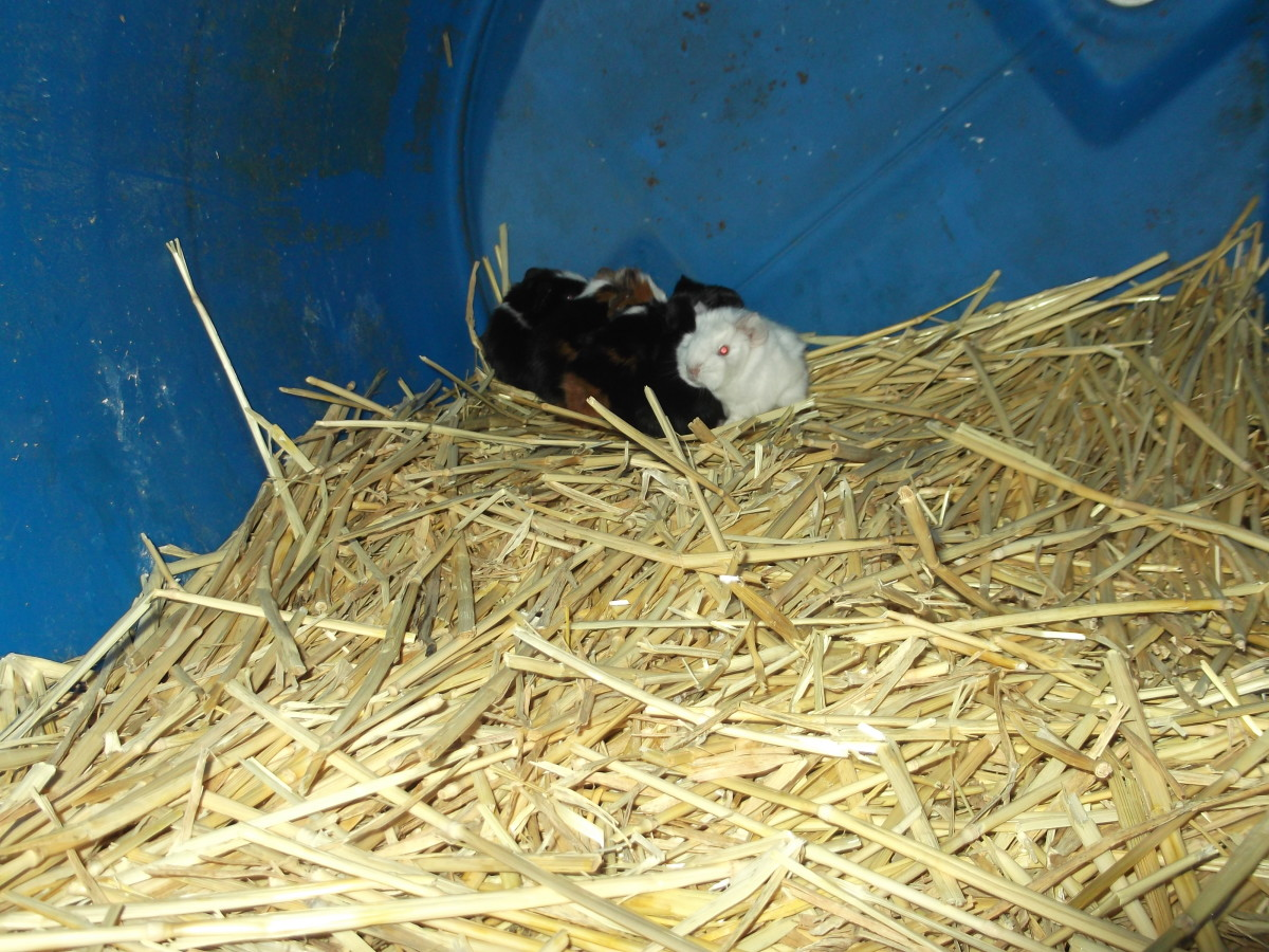 Tiny baby guinea pigs in the rear of their big barrel home. Newly born but developed enough to be walking on day one, eating grass on day two and going on family adventures!
