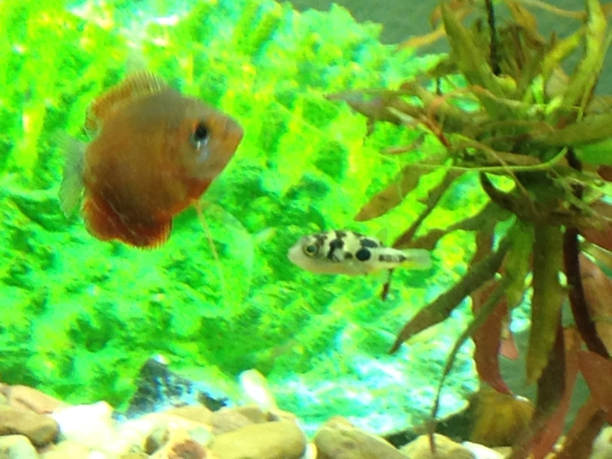 Freshwater puffers are known invertebrates eaters, often preferring a diet of snails, and gouramis are known to eat snails. Both of which should be avoided if you wish to keep invertebrates.