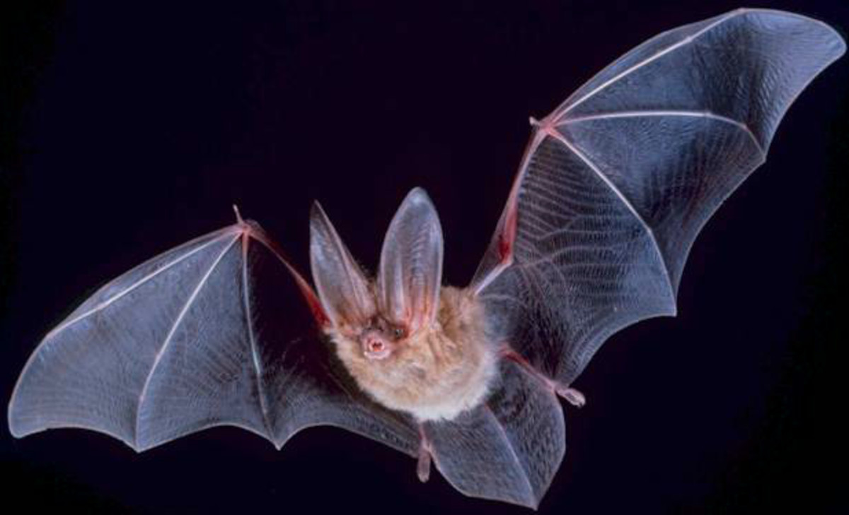 Nocturnal superheroes, bats comprise about 20% of the world's classified mammal species.