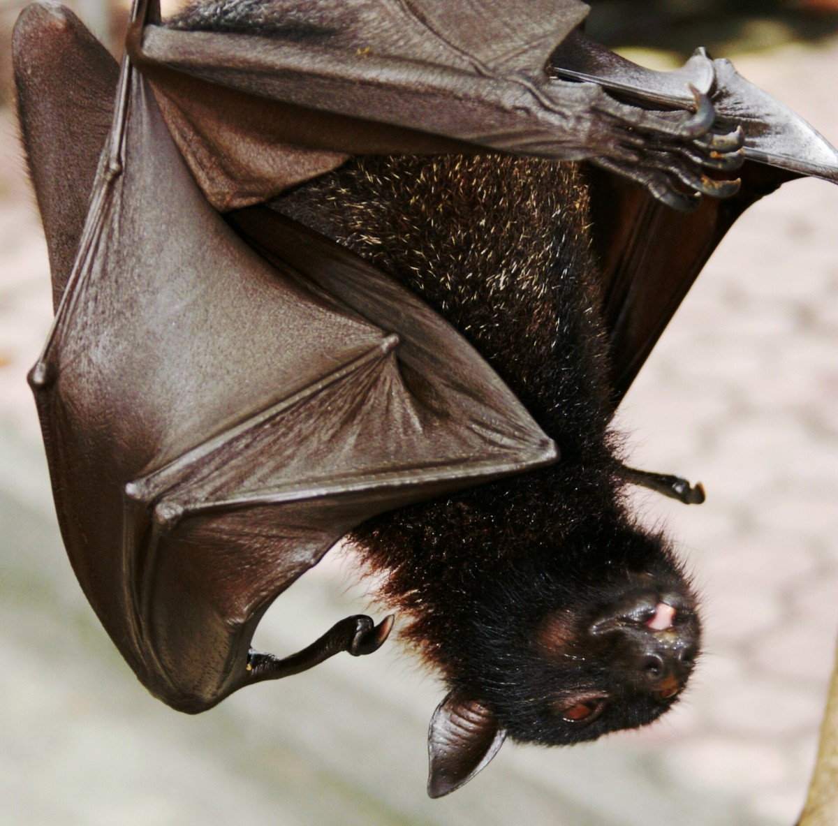 Although this bat is hanging out alone, typically bats cluster in groups.