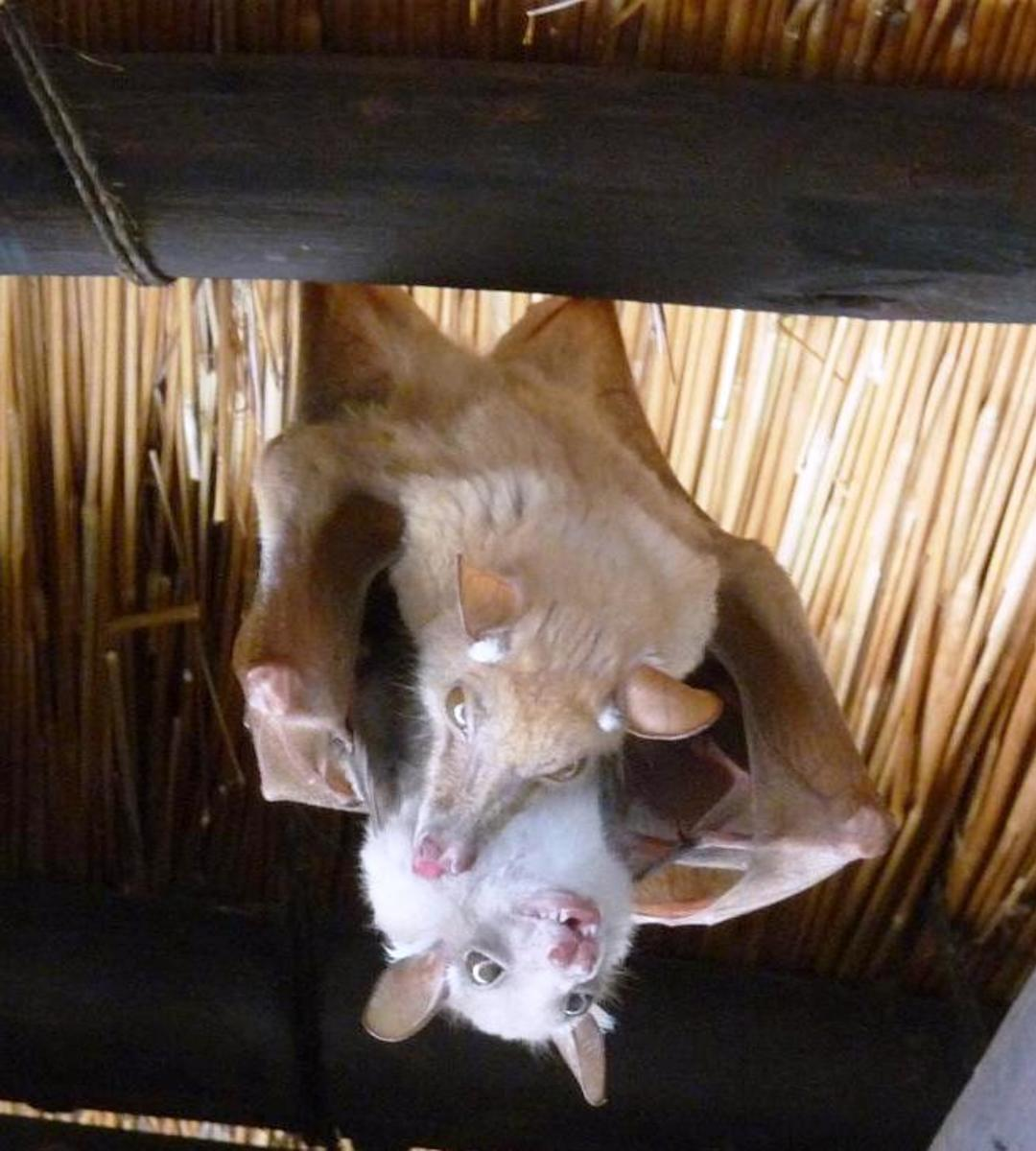Most bats mate, give birth, and sleep in an upside down position.  If a bat dies while it is roosting, it will remain upside down until something knocks it loose.