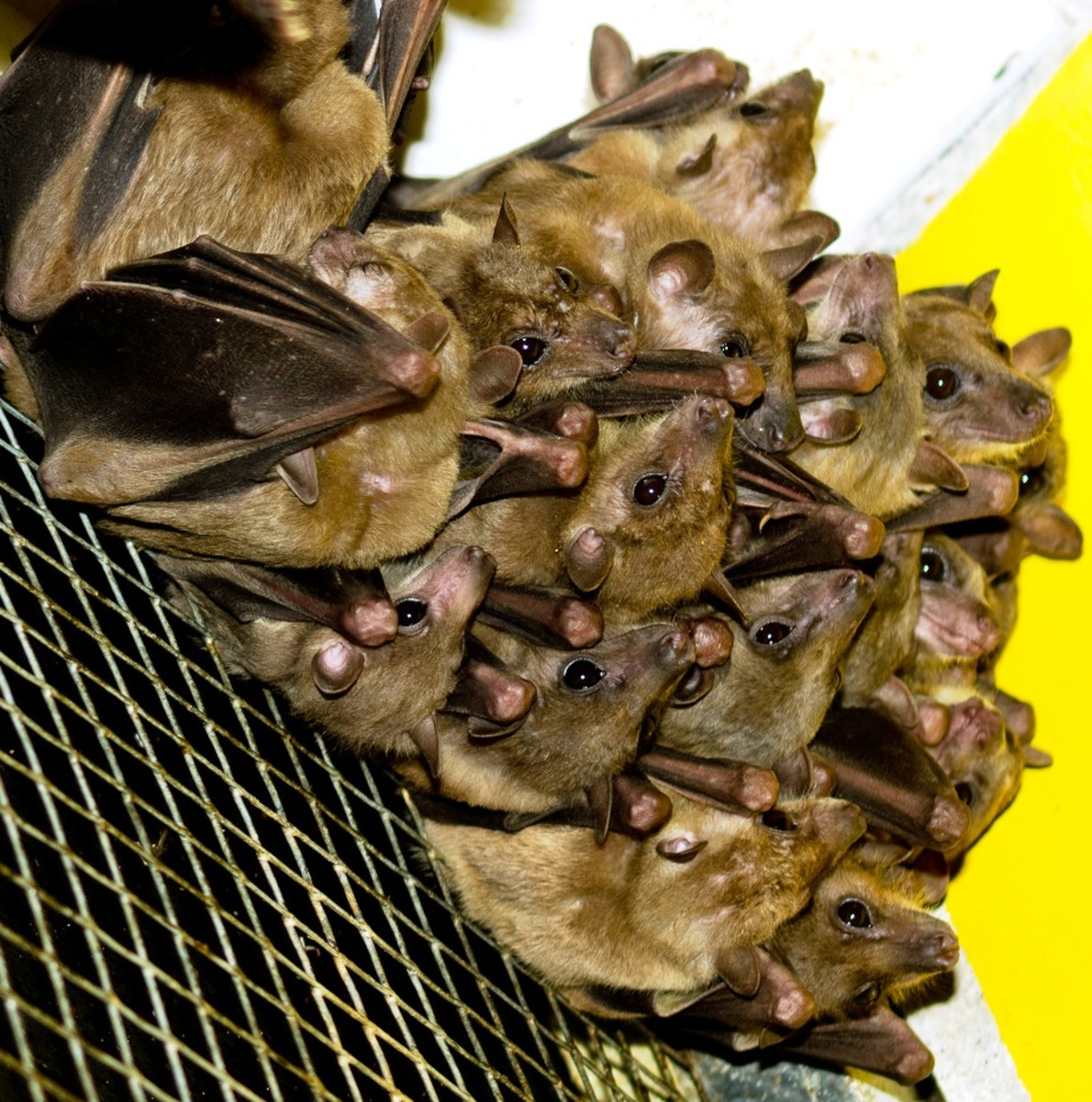 Baby bats often cluster together like a bunch of grapes to stay warm.  Bats live, raise their young, and hunt in groups.  They prefer  spaces that are hot, dry, and dark. Attic vacancy?