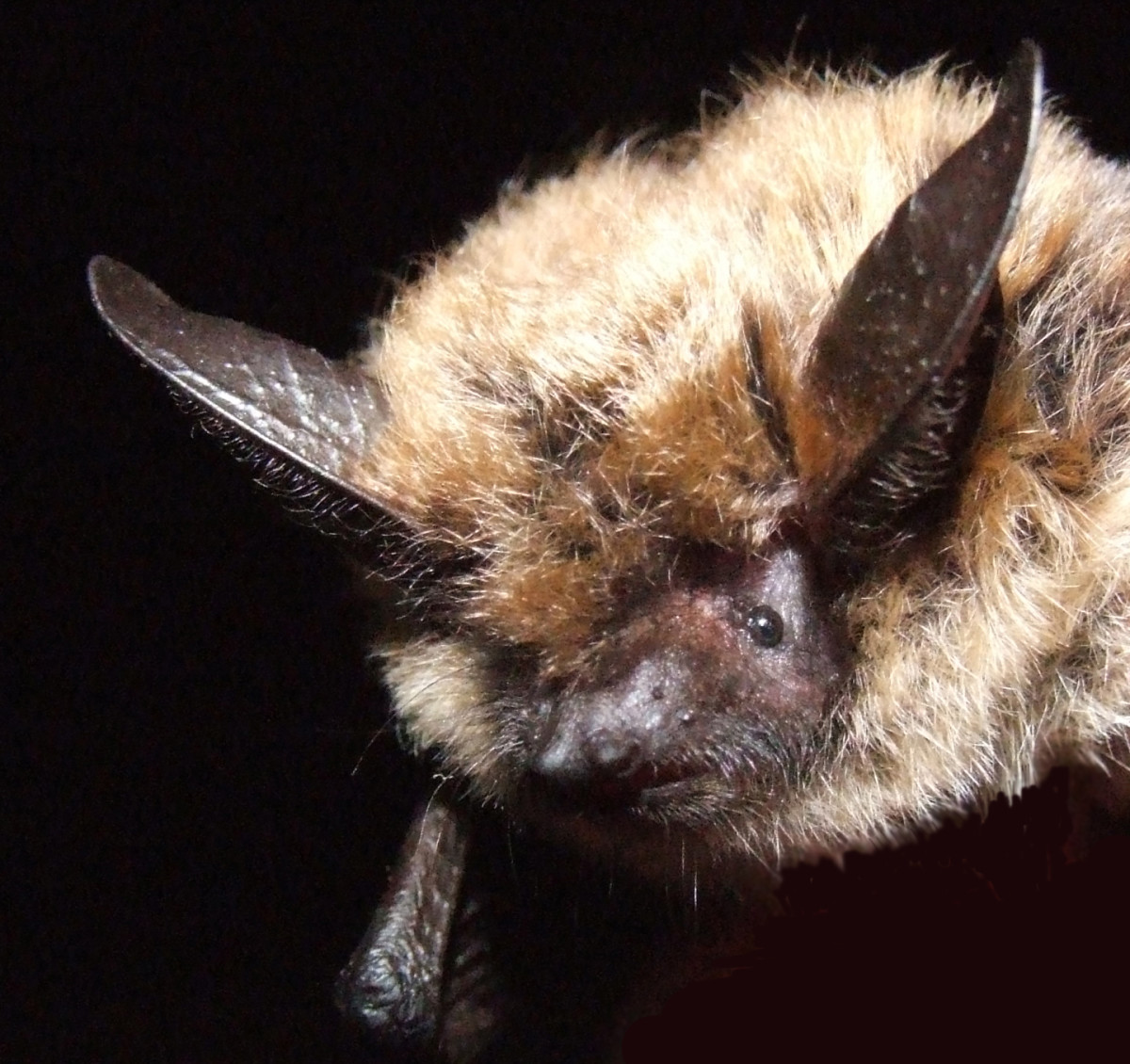 Educate yourself about the benefits of bats so you can overcome your prejudice and fear about them.  This little guy is cute, isn't he?