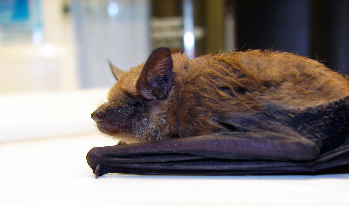 Know your bat facts.  Bats are not blind.  They are not filthy, not rodents, they are shy and intelligent, and they don't hunt down people.