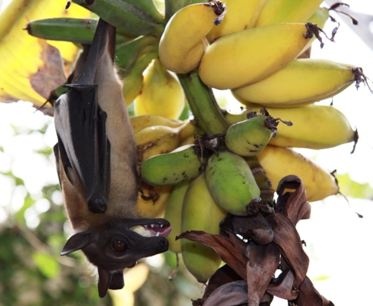 You're not the only one who likes bananas!  Nearly one-third of the world's bats feed on fruit or plant nectar.  Bats play a critical role in regenerating rainforests through seed dispersal.